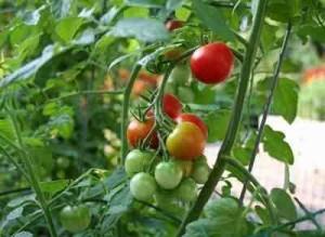 Как лучше выращивать самые вкусные помидоры в теплице?